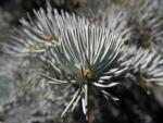 Bild: Stechfichte Nadeln blaugrün Picea pungens