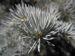 Zurück zum kompletten Bilderset Stechfichte Nadeln blaugrün Picea pungens