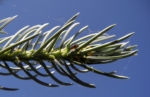 Stechfichte Nadel blaugruen Picea pungens 22