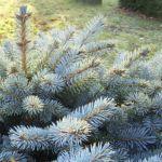 Stechfichte Picea pungens 02
