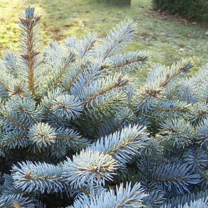 Bild: Stechfichte Picea pungens