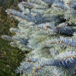 Stechfichte Picea pungens 03