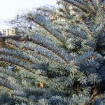 Stechfichte Picea pungens 04