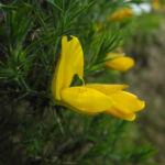 Stechginster Bluete gelb Ulex europaeus 07