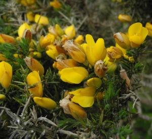 Stechginster Bluete gelb Ulex europaeus 09