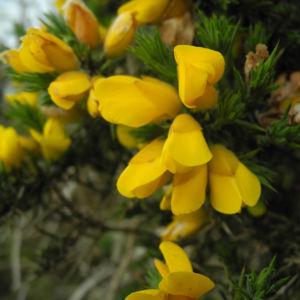Stechginster Bluete gelb Ulex europaeus 10