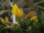 Stechginster Bluete gelb Ulex europaeus 12