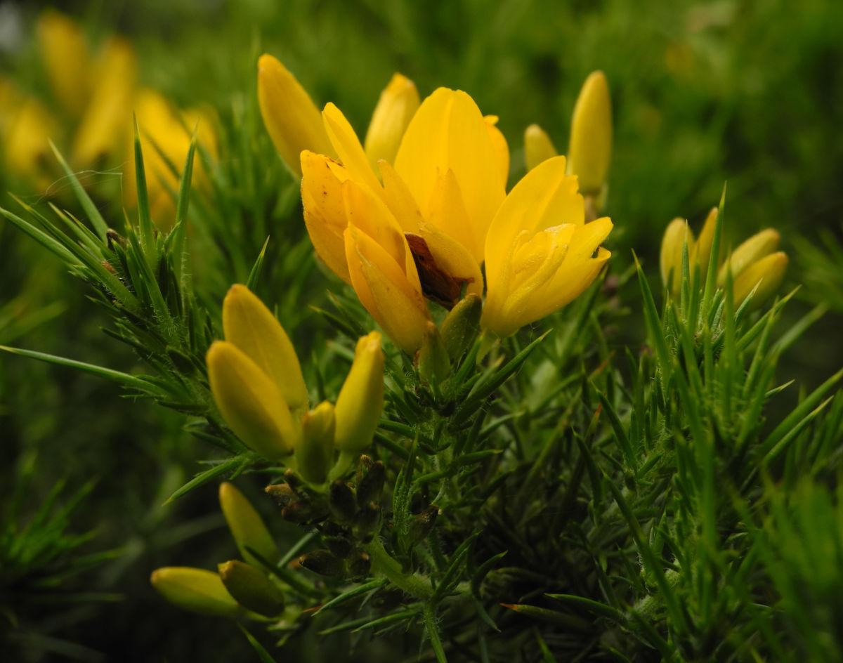 Stechginster Bluete gelb Ulex europaeus