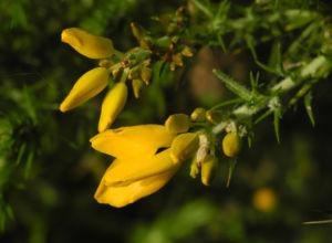 Stechginster Bluete gelb Ulex europaeus 18