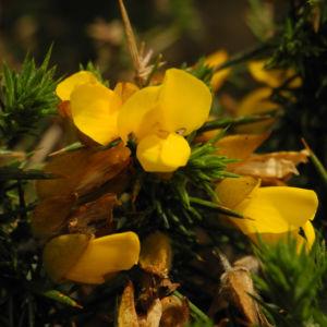Stechginster Bluete gelb Ulex europaeus 20