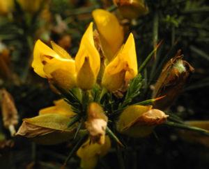 Stechginster Bluete gelb Ulex europaeus 22