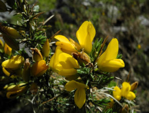 Stechginster Bluete gelb Ulex europaeus 24