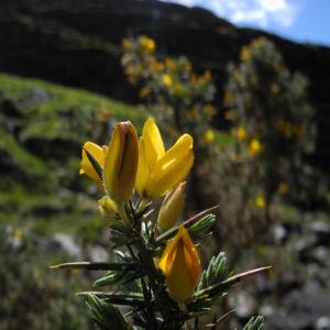 Stechginster Bluete gelb Ulex europaeus 25