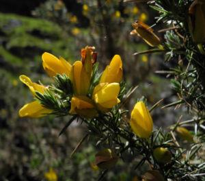 Stechginster Bluete gelb Ulex europaeus 26