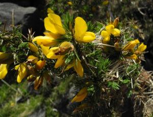 Stechginster Bluete gelb Ulex europaeus 27