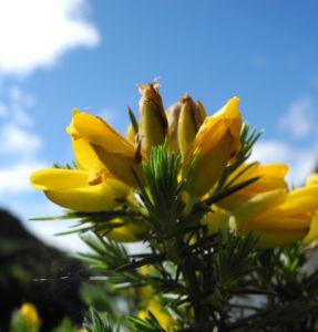 Stechginster Bluete gelb Ulex europaeus 29