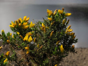 Stechginster Bluete gelb Ulex europaeus 33