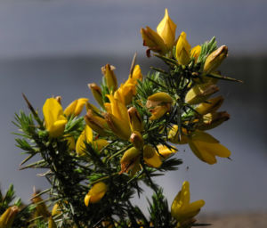 Bild: Stechginster Bluete gelb Ulex europaeus