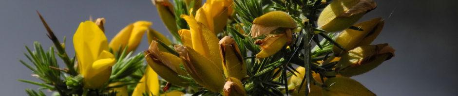 stechginster-bluete-gelb-ulex-europaeus