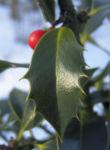 Stechpalme Blatt dunkelgruen Frucht rot Ilex aquifolium 01