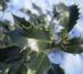 Zurück zum kompletten Bilderset Stechpalme Blatt dunkelgrün Frucht rot Ilex aquifolium