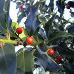 Stechpalme Blatt dunkelgruen Frucht rot Ilex aquifolium 04