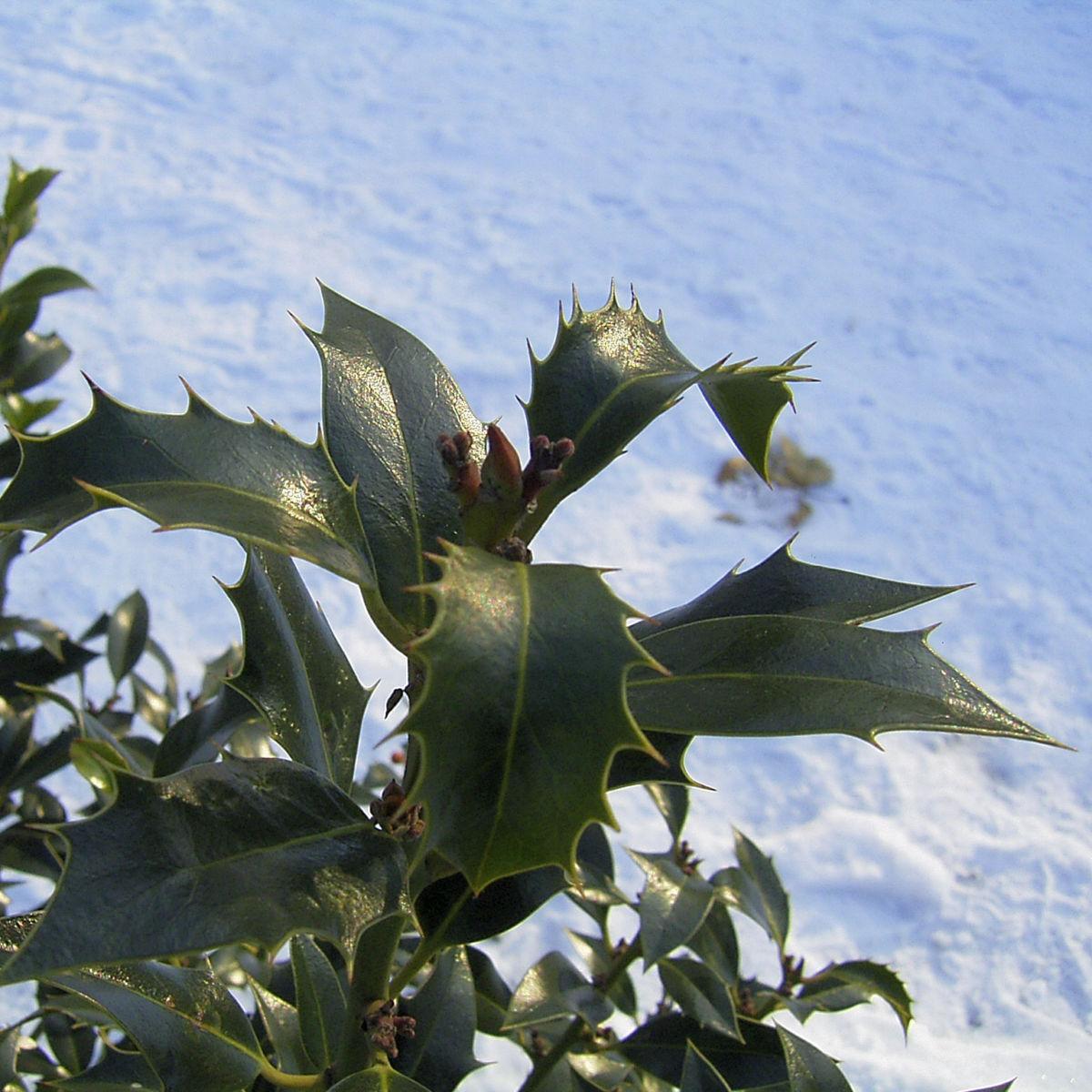 Stechpalme Blatt dunkelgruen Frucht rot Ilex aquifolium