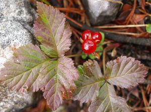 Bild: Stein Brombeere Frucht rot Rubus saxatilis