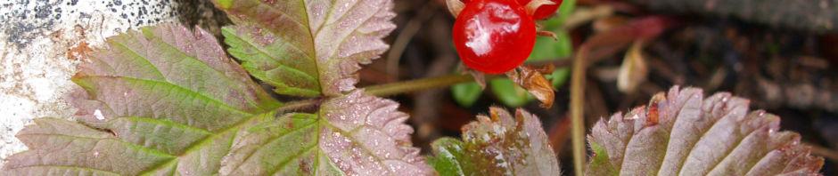 Anklicken um das ganze Bild zu sehen  Steinbeere Frucht rot Rubus saxatilis