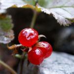 Stein Brombeere Frucht rot Rubus saxatilis 04