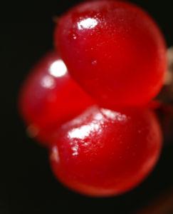 Stein Brombeere Frucht rot Rubus saxatilis 07