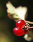 Stein Brombeere Frucht rot Rubus saxatilis 09