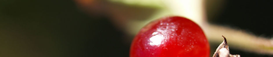 steinbeere-frucht-rot-rubus-saxatilis
