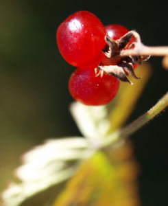 Stein Brombeere Frucht rot Rubus saxatilis 10