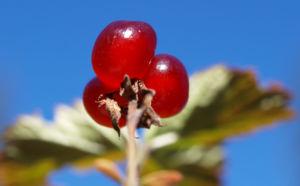 Stein Brombeere Frucht rot Rubus saxatilis 12