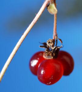 Stein Brombeere Frucht rot Rubus saxatilis 14