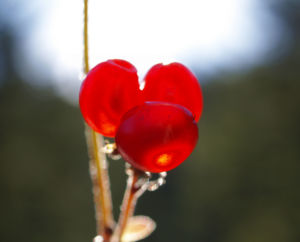 Stein Brombeere Frucht rot Rubus saxatilis 16
