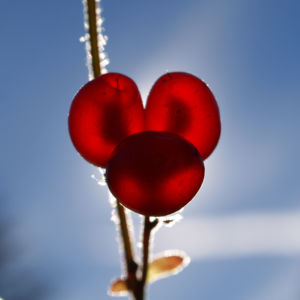 Stein Brombeere Frucht rot Rubus saxatilis 19