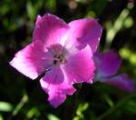 Stein Nelke Bluete pink Dianthus sylvestris 01
