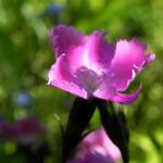 Stein Nelke Bluete pink Dianthus sylvestris 02