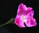 Stein Nelke Bluete pink Dianthus sylvestris 03