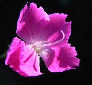 Stein Nelke Bluete pink Dianthus sylvestris 04