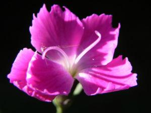 Stein Nelke Bluete pink Dianthus sylvestris 05