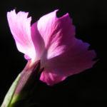 Stein Nelke Bluete pink Dianthus sylvestris 06
