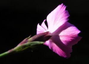 Stein Nelke Bluete pink Dianthus sylvestris 07