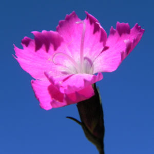 Stein Nelke Bluete pink Dianthus sylvestris 08