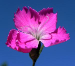 Stein Nelke Bluete pink Dianthus sylvestris 09