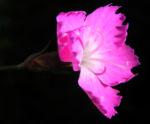 Bild: Stein-Nelke Blüte pink rosa Dianthus sylvestris