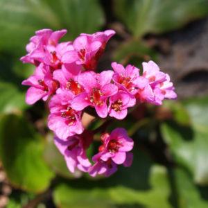 Steinbrech Bergenie Bluete rot Bergenia cordifolia 06
