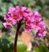 Zurück zum kompletten Bilderset Riesensteinbrech Bergenie Blüte rot Bergenia cordifolia